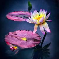 Lotus Light Art Prints & Posters by Jessica Jenney