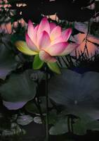 Sunset Lotus
