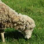 """""""2016-07-27 Sheep on a Farm"""" by rhamm"""