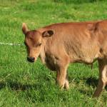"""Young Calf on a Farm"" by rhamm"