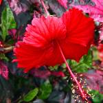 """Red Hibiscus"" by inspirationalphotocreatio"