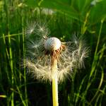 """Common dandelion, grass background, half blown awa"" by Mohamed-Fadly"