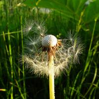 Common dandelion, grass background, half blown awa Art Prints & Posters by Mohamed Fadly