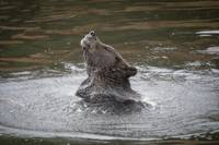 Brown Bear Shaking Off Water