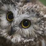 """""""sawwhetowl"""" by SederquistPhotography"""