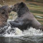 """Wrestling Brown Bears"" by SederquistPhotography"