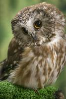 Saw Whet Owl Closeup