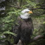 """Bald Eagle in Tree"" by SederquistPhotography"