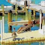 """""""Anhinga-pelicans"""" by DianneMarlene"""