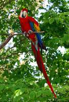 Red Parrot 2