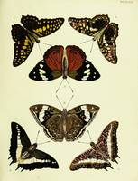 Butterflies from Asia, Africa and America,. Amstel
