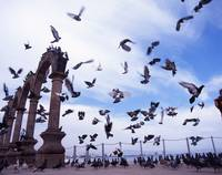 The Mexican Pigeons