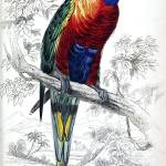 """Edward Lear (1812 - 1888), Rainbow Lorikeet AKA Bl"" by motionage"