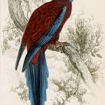"""Edward Lear Parrot Prints from Natural History of"" by motionage"