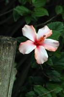 Pink Hibiscus on a Tree