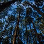 """Pine trees and a blue sky"" by felixpadrosa"