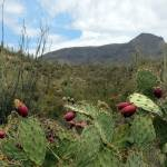 """Prickly Pear with Fruit"" by GordonBeck"
