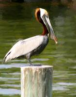 Pelican on Post