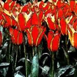 """red & yellow tulips fresco"" by ADulaney"