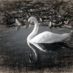 """swan sketch"" by ADulaney"