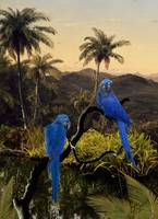 The Hyacinth Macaws of the Tropics