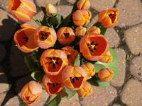 tulips on the patio