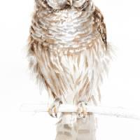Barred Owl Art Prints & Posters by Sharon Morgio