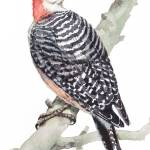 """Red-Bellied Woodpecker"" by SharonRMorgio"