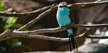 Racket-tailed Roller Bird