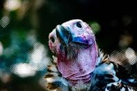 Lappet-faced Vulture