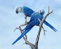 Ian_Griffiths_spix_macaw