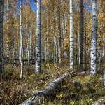 """""""Aspen Forest"""" by BLPhoto"""