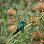 """Hummingbird on a Wildflower"" by rhamm"