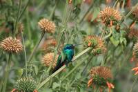 Hummingbird on a Wildflower