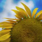 """Imperfect Sunflower"" by SoulfulPhotos"