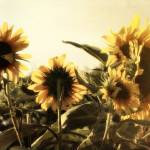 """Sunflowers In Tone"" by GlennMcCarthyArtPhoto"