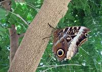 Tree Climbing Butterfly