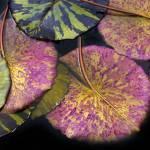 """""""Lily Pond Jewels II"""" by JessicaJenney"""
