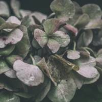 Hydrangea Art Prints & Posters by Lori Lindsey