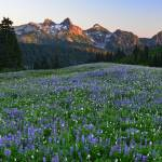 """Paradise wildflowers & Tatoosh Range at sunset"" by JohnChaoPhoto"