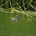 """Grebe in a Lake"" by rhamm"