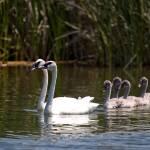 """""""Swan Solemnity"""" by RHMiller"""