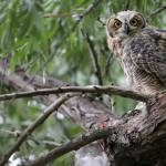 """Fledgling Great Horned Owl"" by RHMiller"