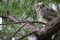 Fledgling Great Horned Owl
