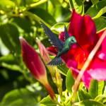 """Green Humming Bird"" by patsphotos"