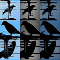 blackbird 3 3 3 by Louise Dionne