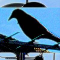 blackbird 7 by Louise Dionne