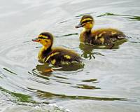Pair O Ducks (Ducklings)