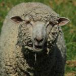 """Face of a Sheep"" by rhamm"