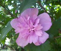 Rose Of Sharon Different Kind